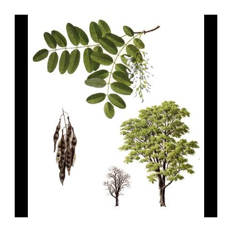 Acacia in fiori